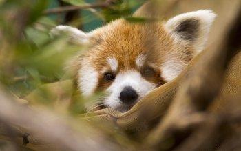 Animaux - Panda Roux Fonds d'écran et Arrière-plans ID : 529629