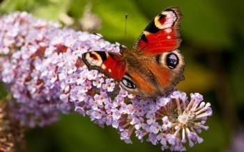 Animal - Butterfly Wallpapers and Backgrounds ID : 531407
