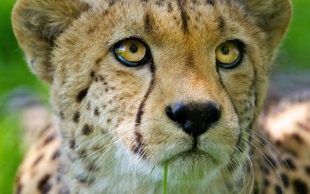 Djur - Cheetah Wallpapers and Backgrounds ID : 533994