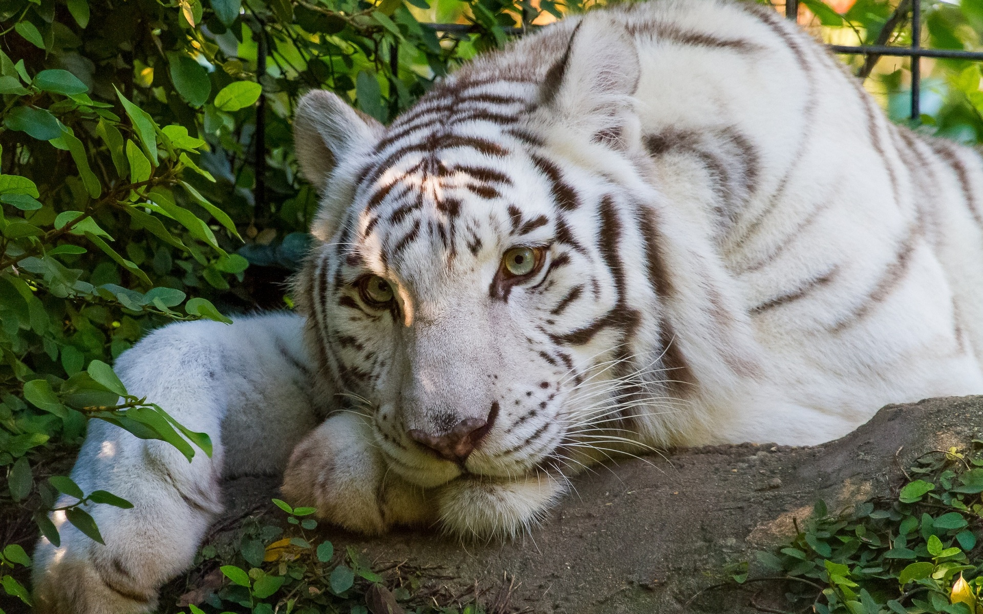 White Tiger HD Wallpaper | Background Image | 1920x1200 | ID