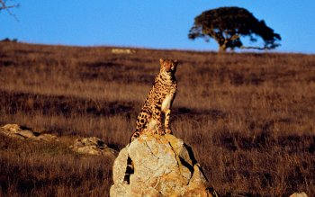 Djur - Cheetah Wallpapers and Backgrounds ID : 534674
