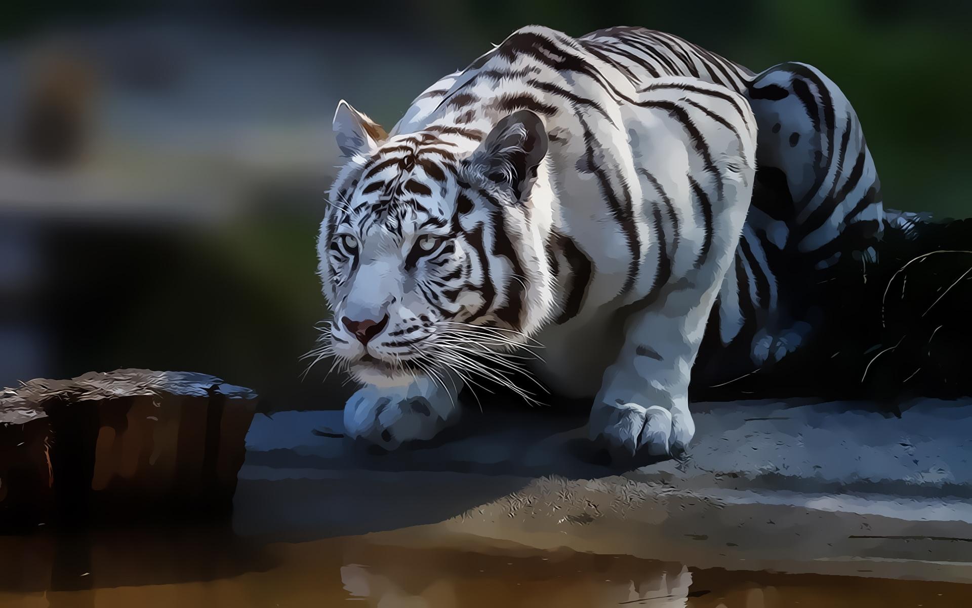Weißer Tiger HD Wallpaper | Hintergrund | 1920x1200 | ID ...