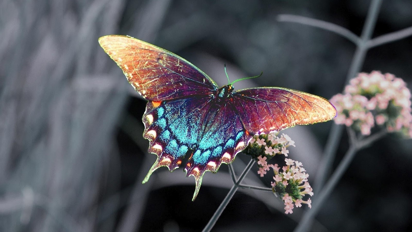 Butterfly Wallpaper And Background Image 1600x900 Id