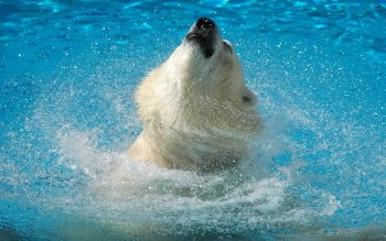 Animal - Polar Bear Wallpapers and Backgrounds ID : 54050
