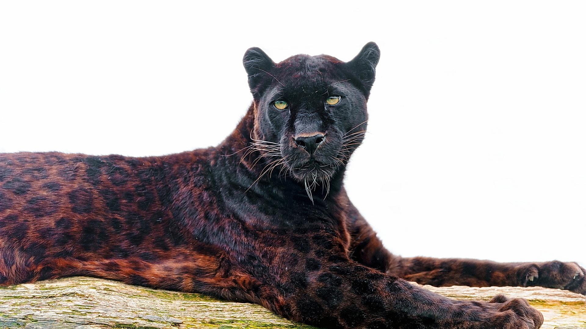 Black jaguar full hd wallpaper and background image 1920x1080 id animal jaguar wallpaper voltagebd Choice Image