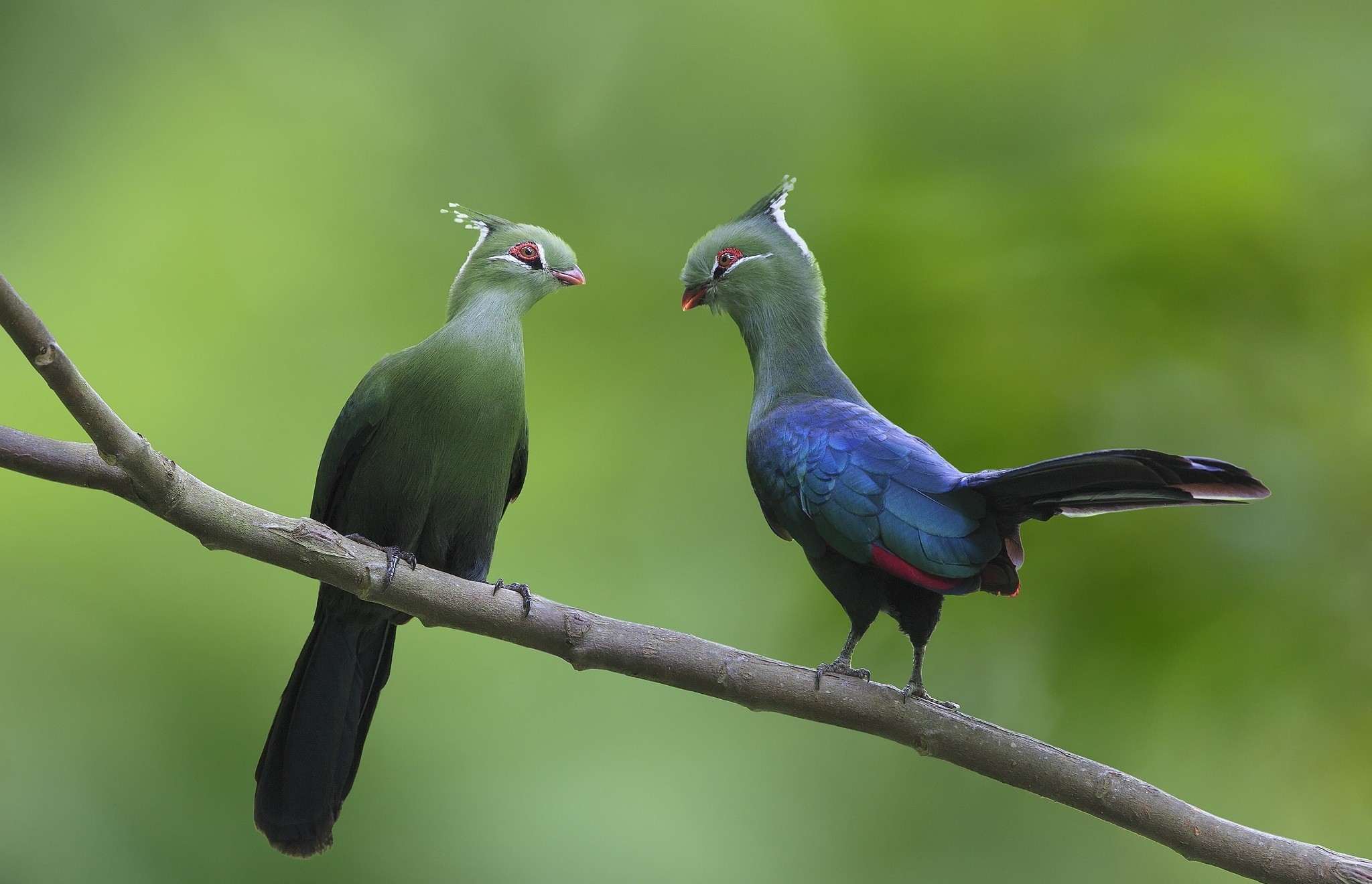 Turaco Couple On Branch Hd Wallpaper Background Image 2048x1320 Id 541499 Wallpaper Abyss