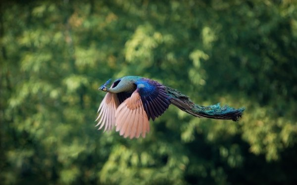 Animaux Paon Oiseaux Flight Fond d'écran HD | Arrière-Plan