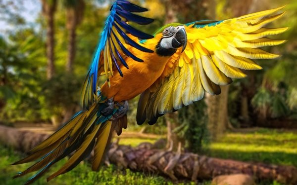 Animales Guacamayo azul y amarillo Aves Loros Loro Guacamayo Flight Fondo de pantalla HD | Fondo de Escritorio