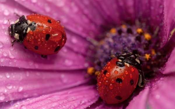 Animal Ladybug Insect Flower Water Drop Macro Close-Up HD Wallpaper | Background Image