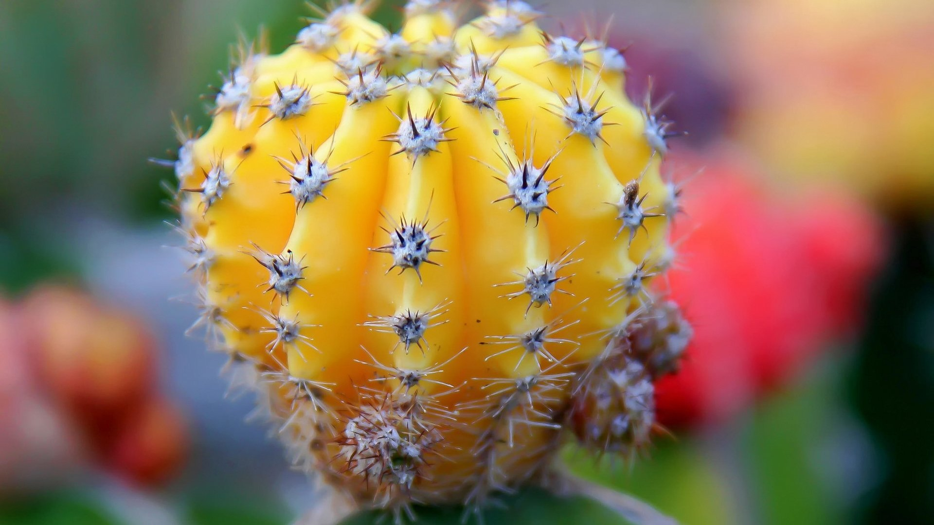 Cactus HD Wallpaper | Background Image | 1920x1080 | ID ...