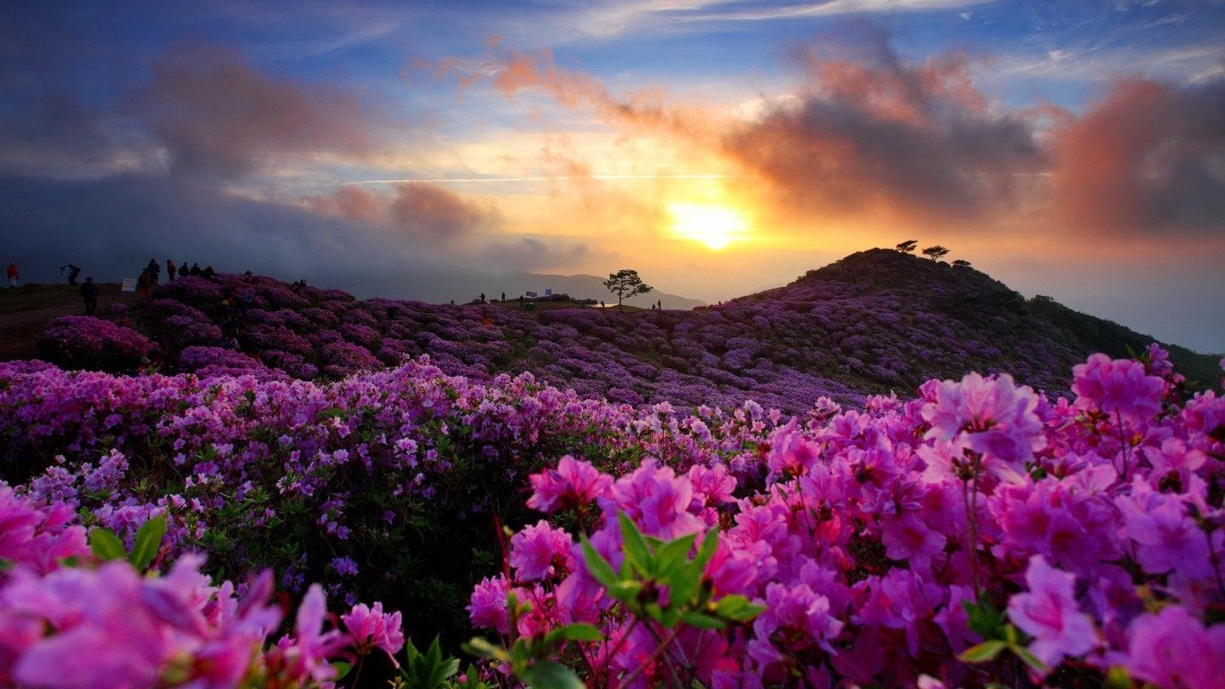 Earth - Sunrise  Korea Azalea Wallpaper