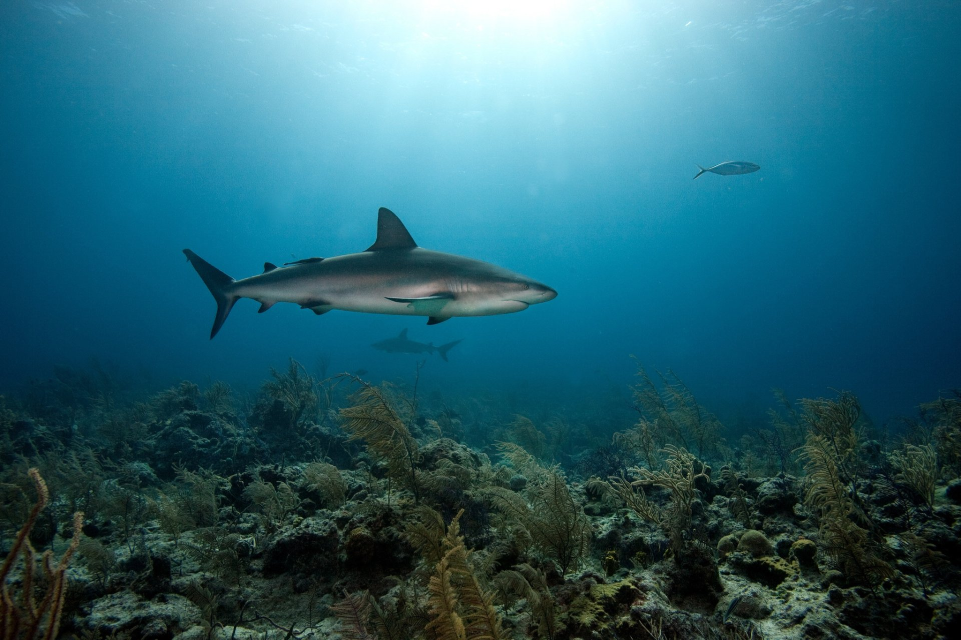 Animal - Shark  Fish Underwater Ocean Coral predator (Animal) Wallpaper