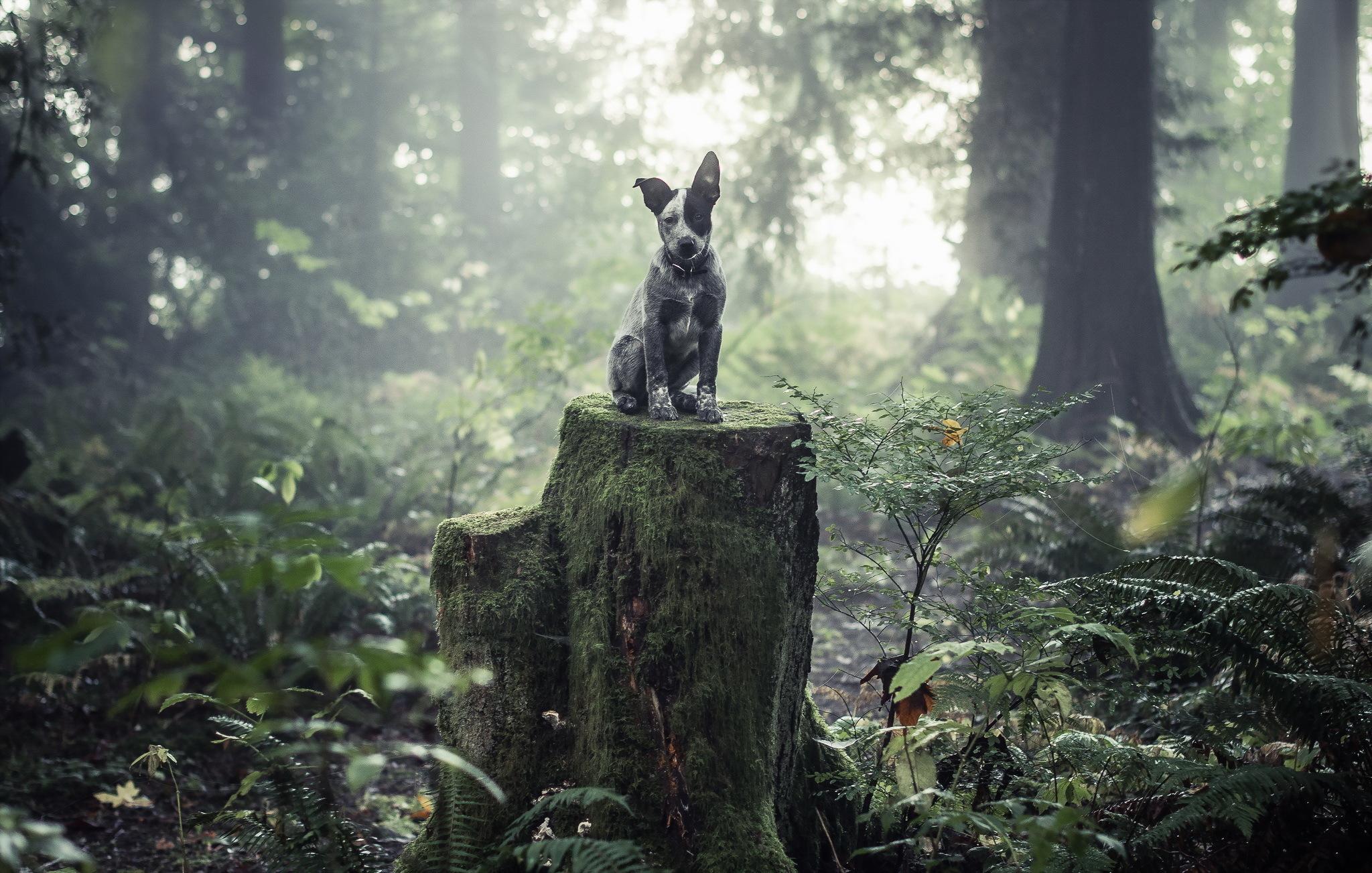 australian shepherd dog black and white