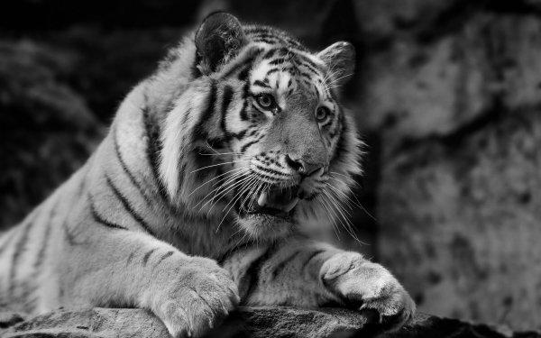 Animal Tiger Cats Black & White predator HD Wallpaper   Background Image