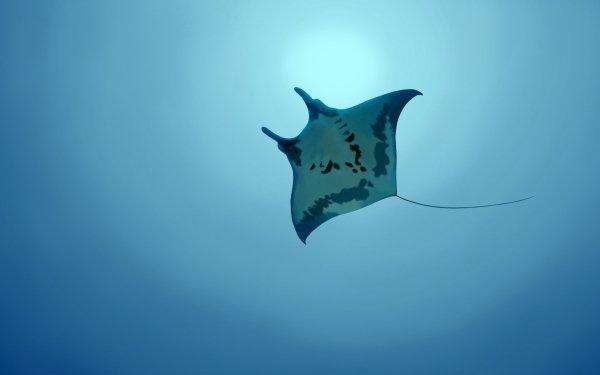 Animal Stingray Fishes Underwater HD Wallpaper | Background Image