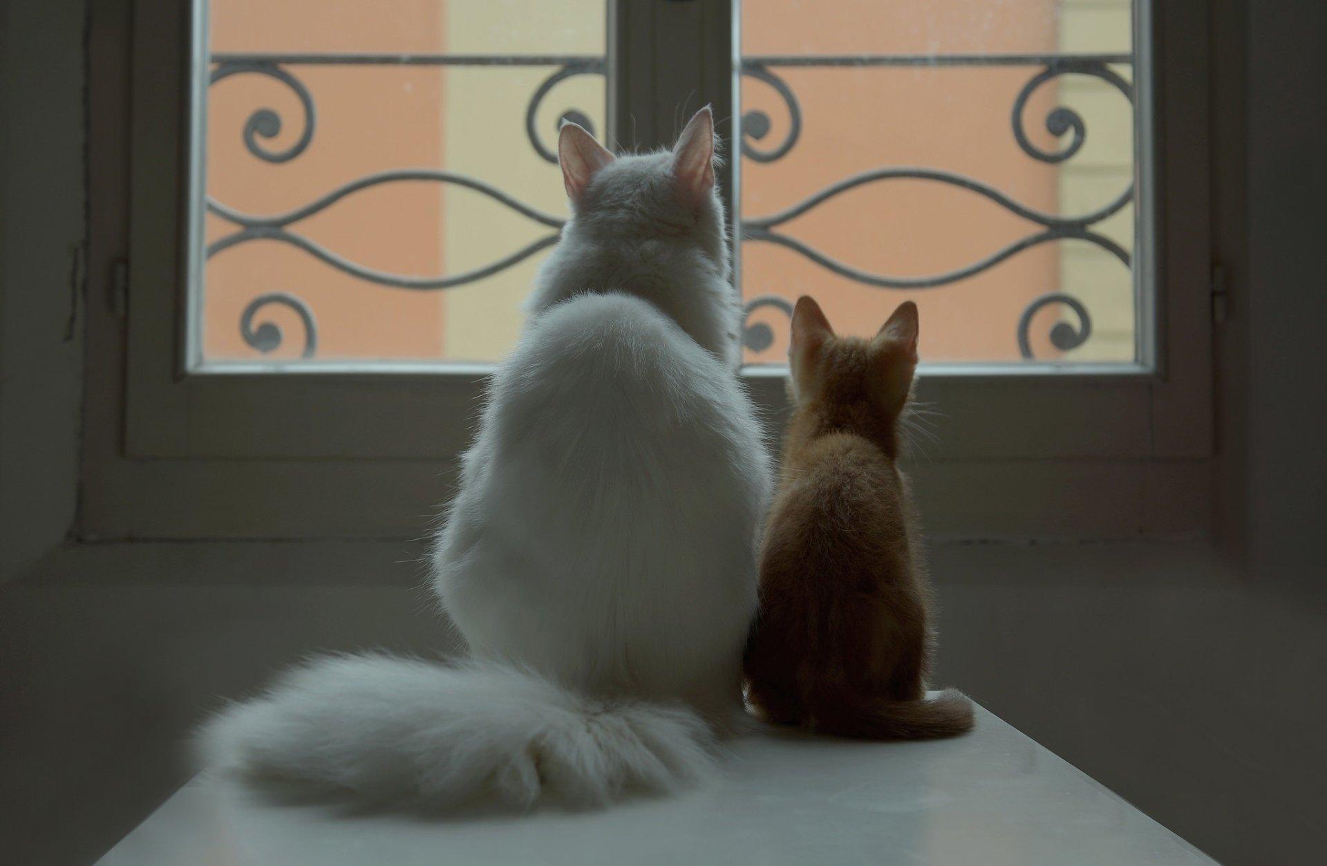 Animal - Cat  Table Kitten Window Wallpaper