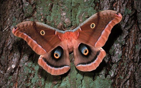 Animal Moth Insect Tree Bark Nature Silk Moth HD Wallpaper   Background Image