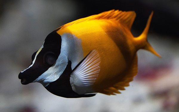 Animal Fish Fishes Tropical HD Wallpaper   Background Image
