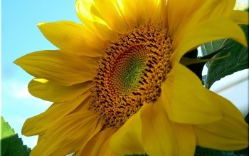 Earth - Sunflower Wallpapers and Backgrounds ID : 55792