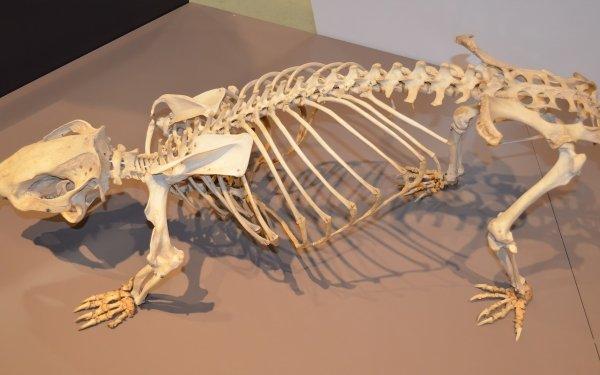 Animal Whopping Wombat Wombat Phascolonus Photography Skeleton Museum Bones Exhibit HD Wallpaper | Background Image
