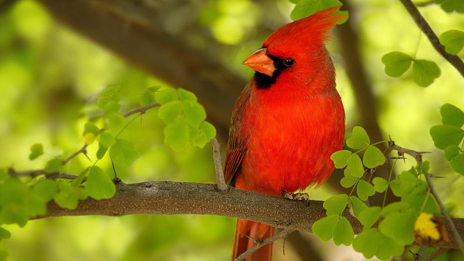 Cardinal hd wallpaper background image 1920x1080 id - Animal and bird hd wallpaper ...
