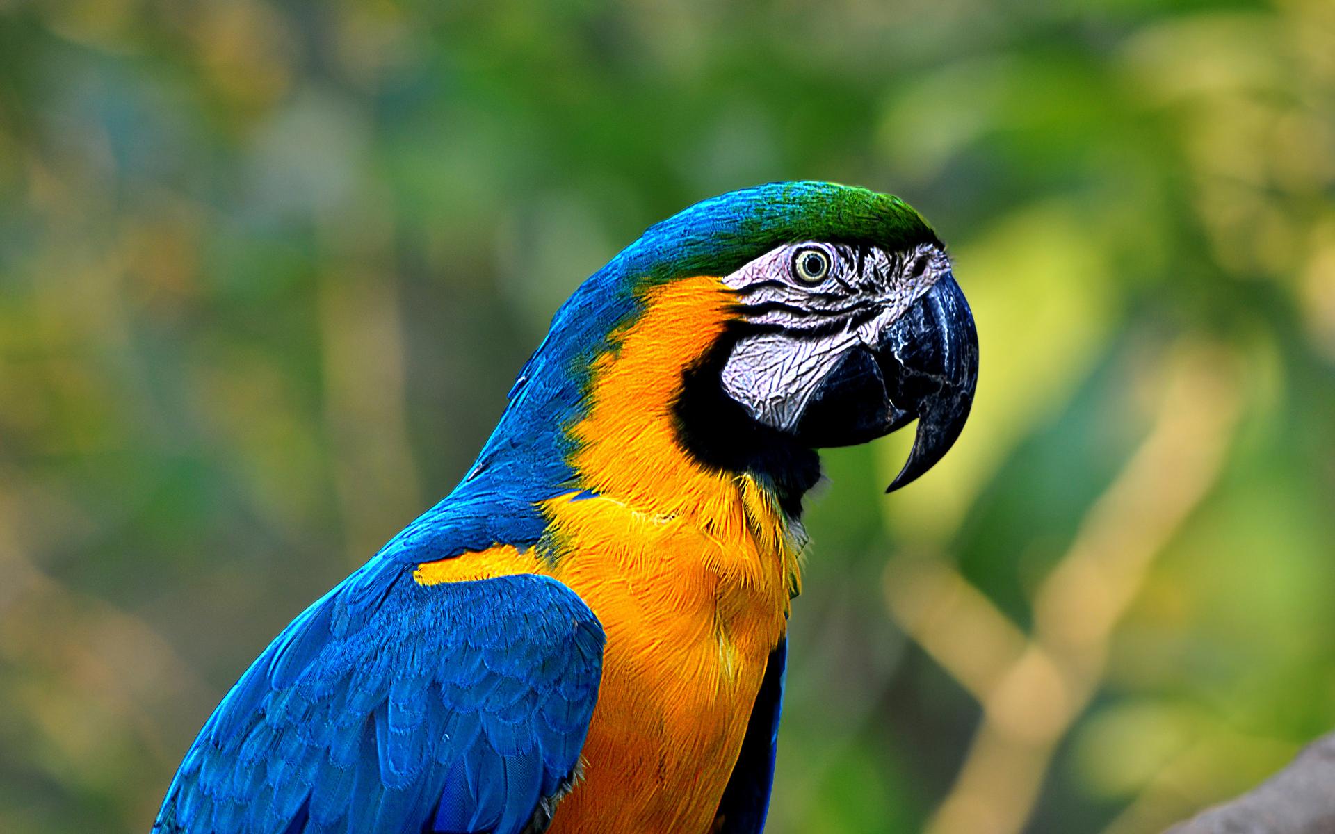 Macaw Papel De Parede HD