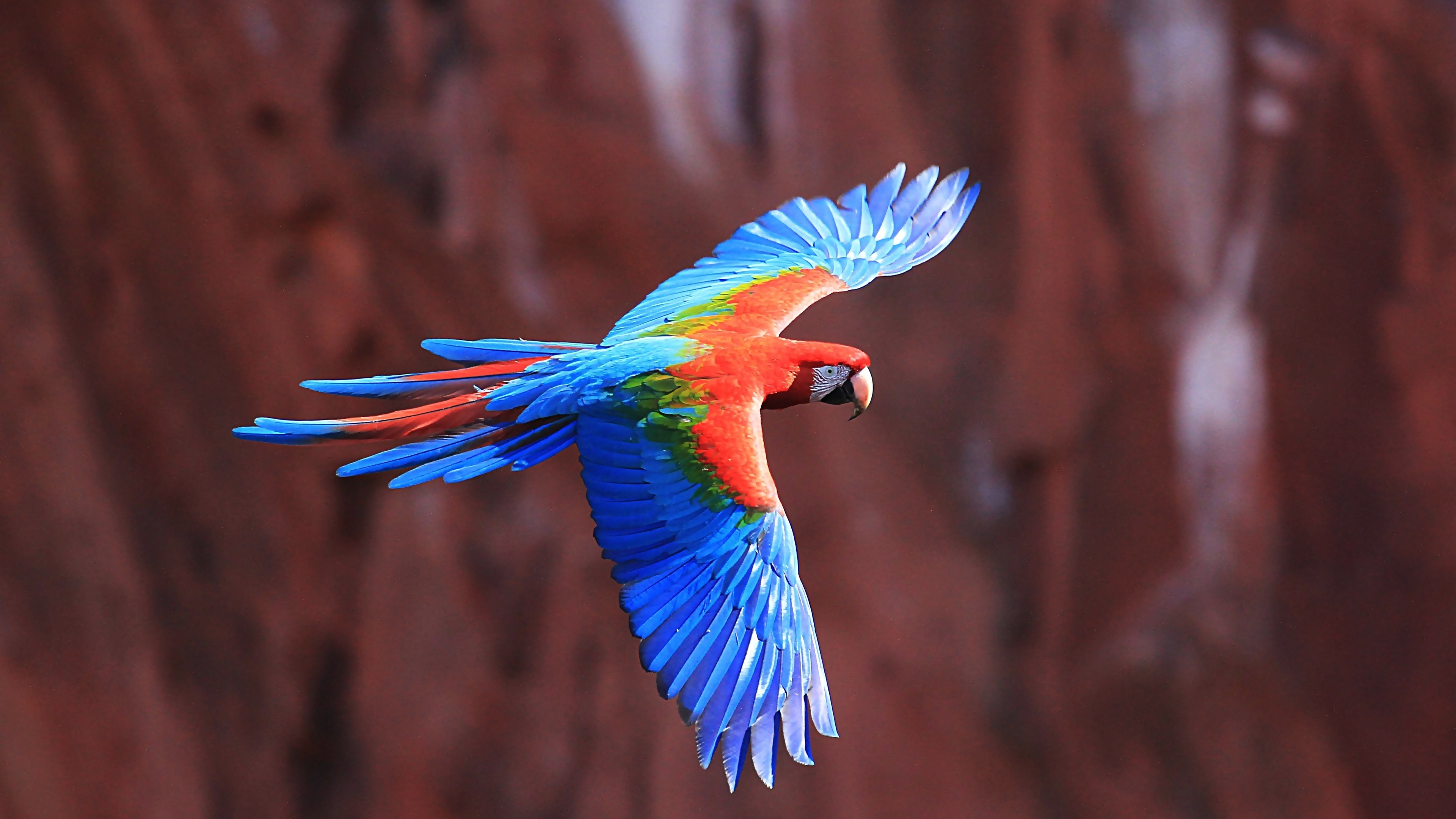 Scarlet Macaw HD Wallpapers Backgrounds Wallpaper