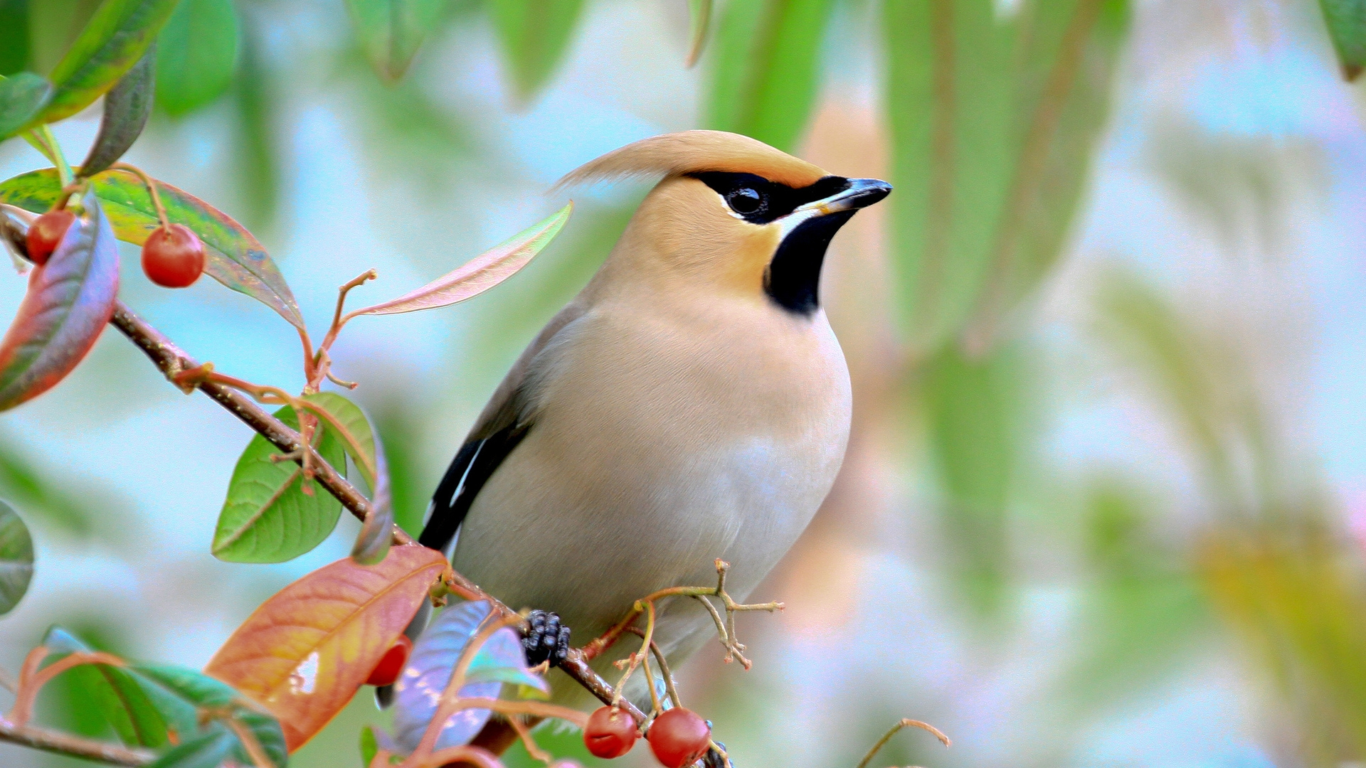 Waxwing Full Hd Wallpaper And Background Image 1920x1080