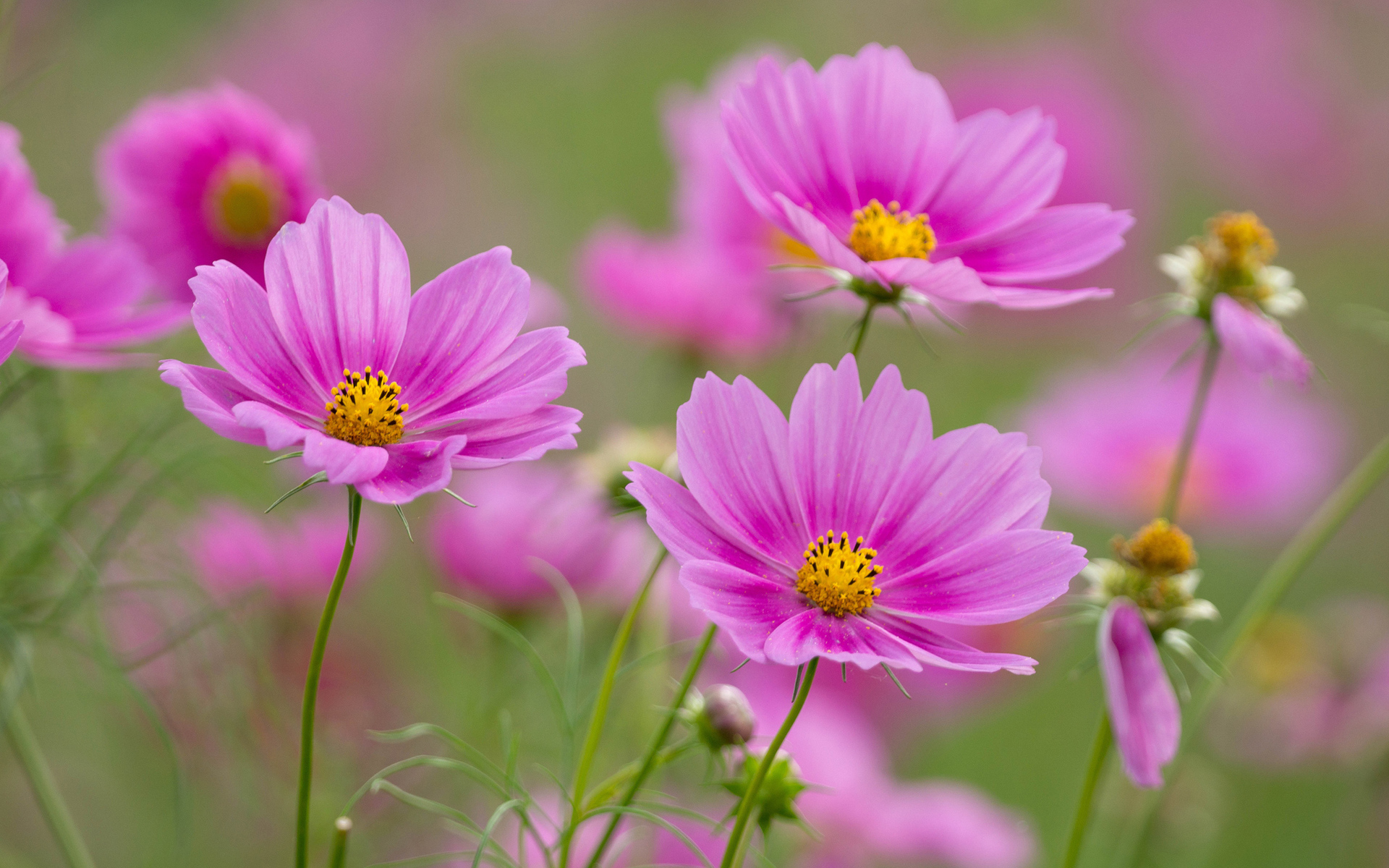 Cosmos full hd wallpaper and background image 1920x1200 id593263 earth cosmos pink flower flower nature wallpaper mightylinksfo