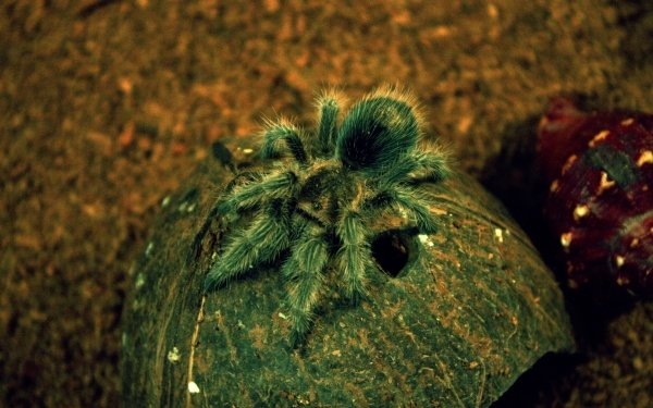 Djur Tarantula Spindlar Spider HD Wallpaper   Background Image
