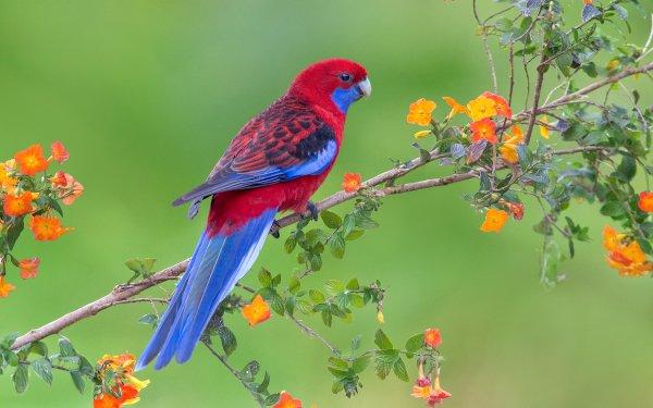 Animales Rosella Aves Loros Loro Crimson Rosella Rama Florecer Primavera Fondo de pantalla HD | Fondo de Escritorio