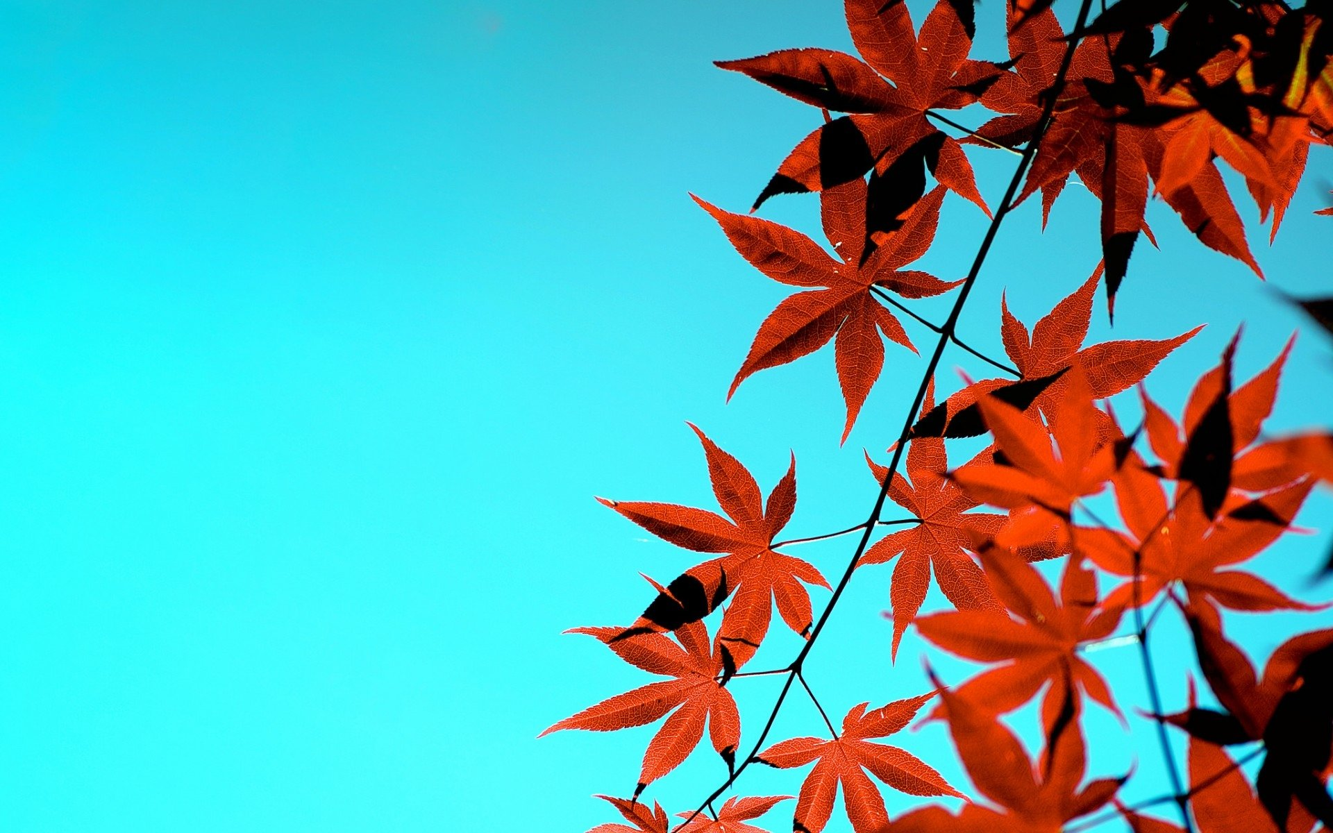 Maple Tree Fondo De Pantalla Hd Fondo De Escritorio