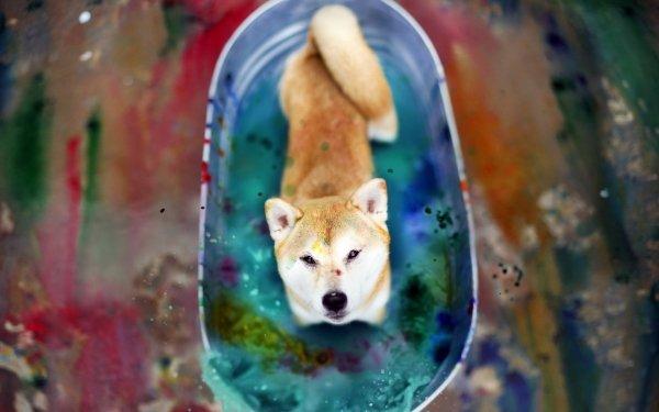 Animal Shiba Inu Dogs Dog Colors Water HD Wallpaper   Background Image