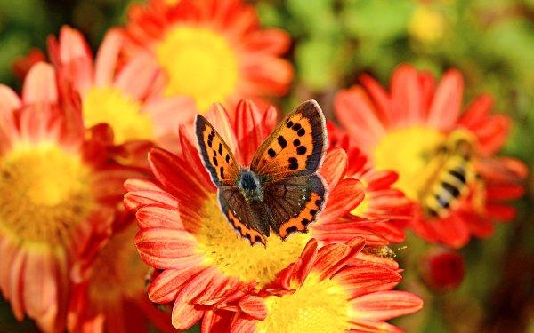 Animal Butterfly Flower Macro Bokeh Chrysanthemum HD Wallpaper   Background Image