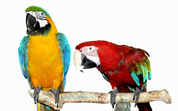 Animal Macaw Birds Parrots Blue-And-Yellow Macaw red-and-green Macaw HD Wallpaper   Background Image