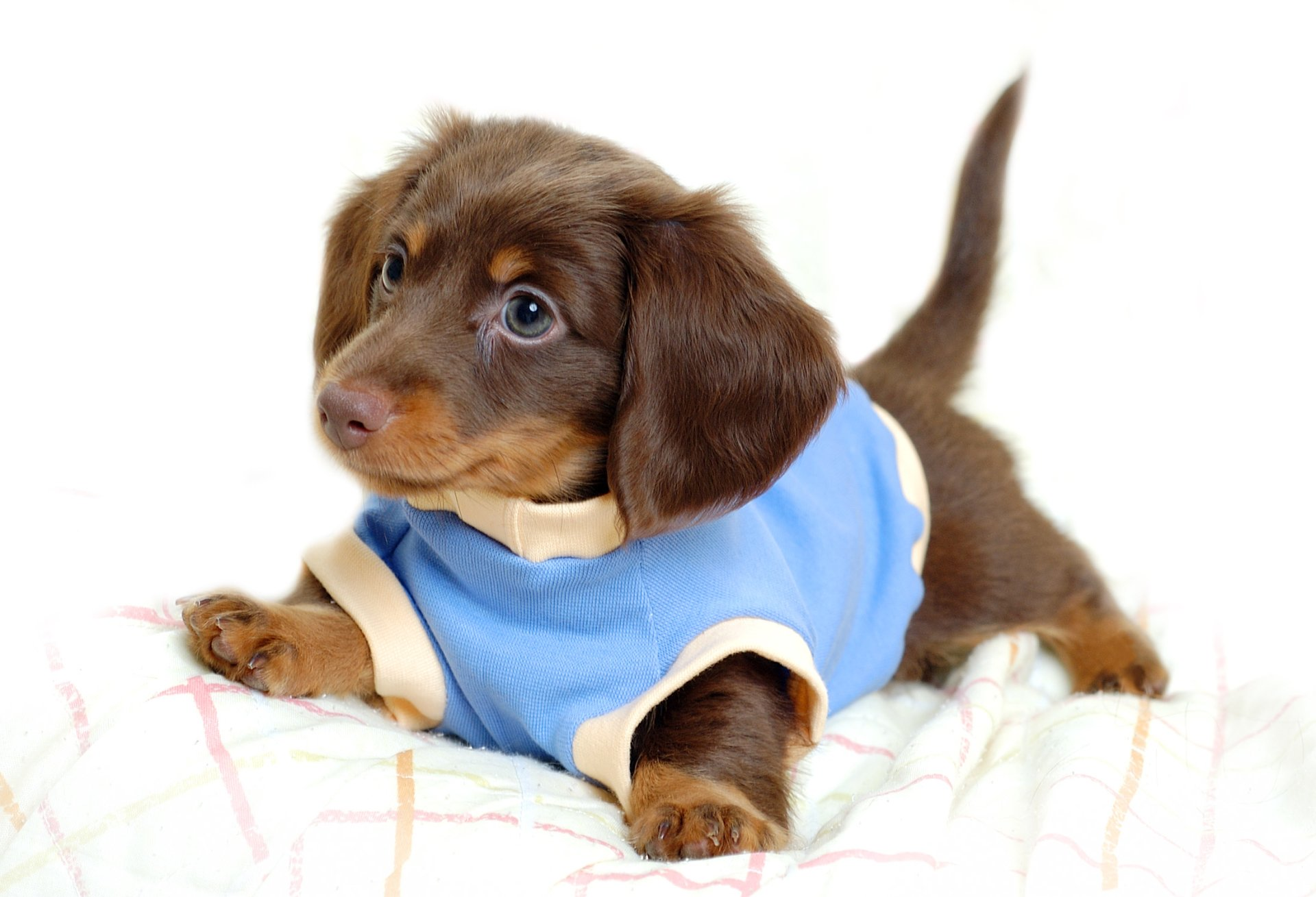 Animal - Dog  Dachshund Puppy Cute Baby Animal Wallpaper