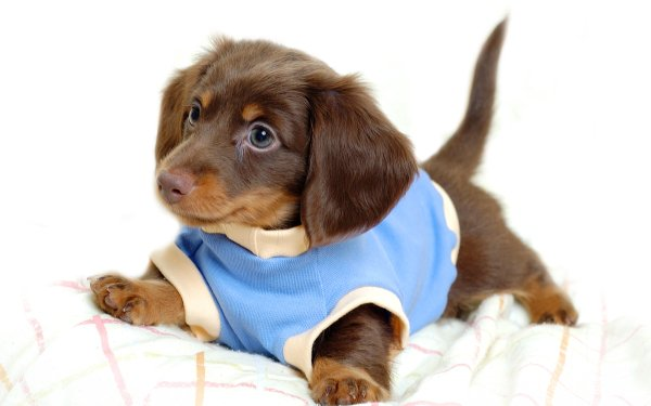 Djur Dachshund Hundar Puppy Baby Animal HD Wallpaper | Background Image