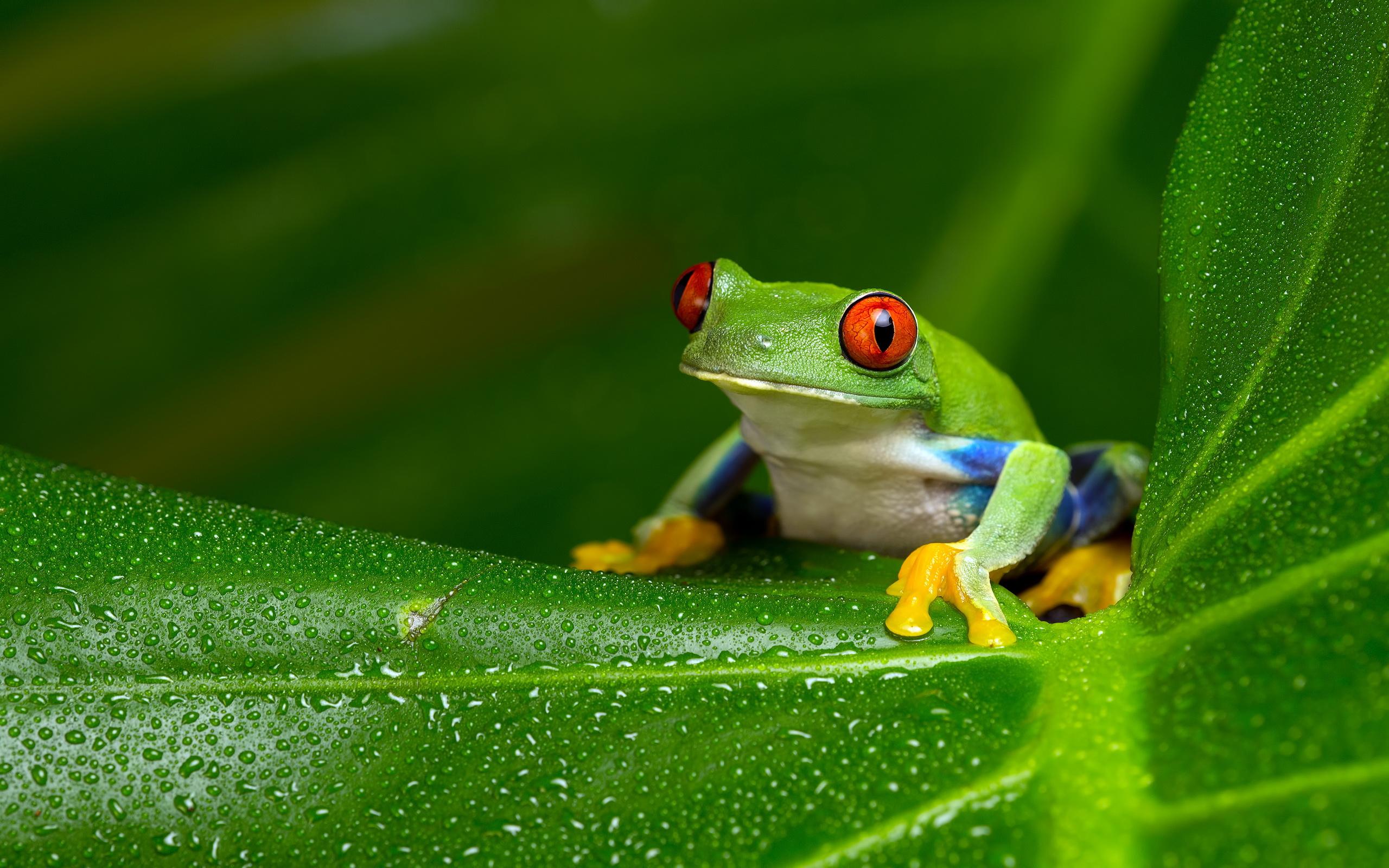 tree frog computer wallpapers desktop backgrounds