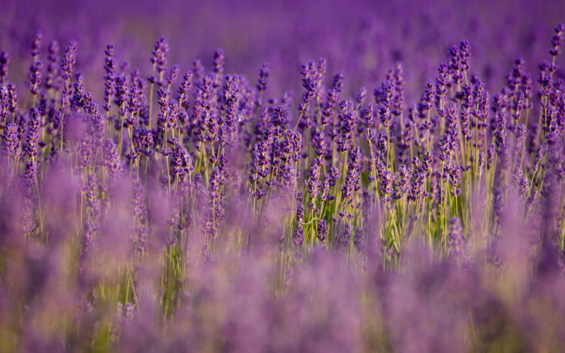 Lavender Computer Wallpapers Desktop Backgrounds