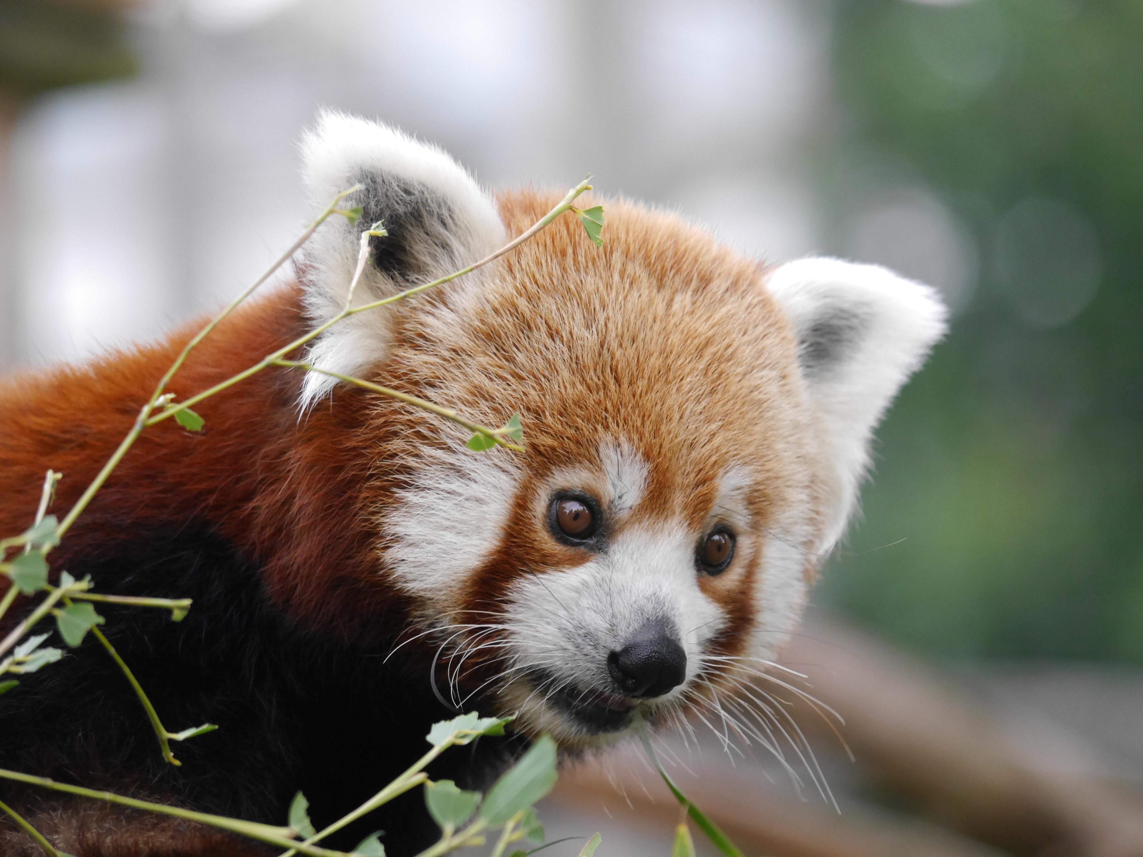 Panda Roux 4k Ultra Fond d'écran HD   Arrière-Plan   4608x3456   ID:650164 - Wallpaper Abyss
