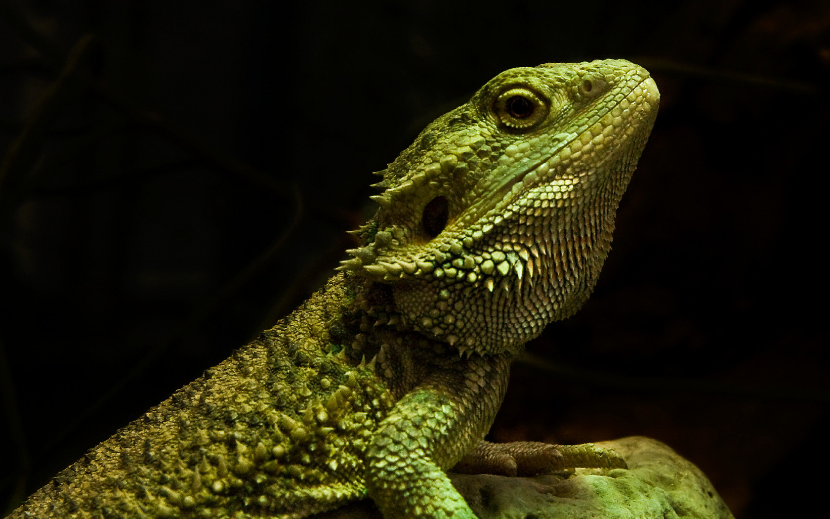 Bearded Dragon Wallpaper and Background Image 1680x1050 ID