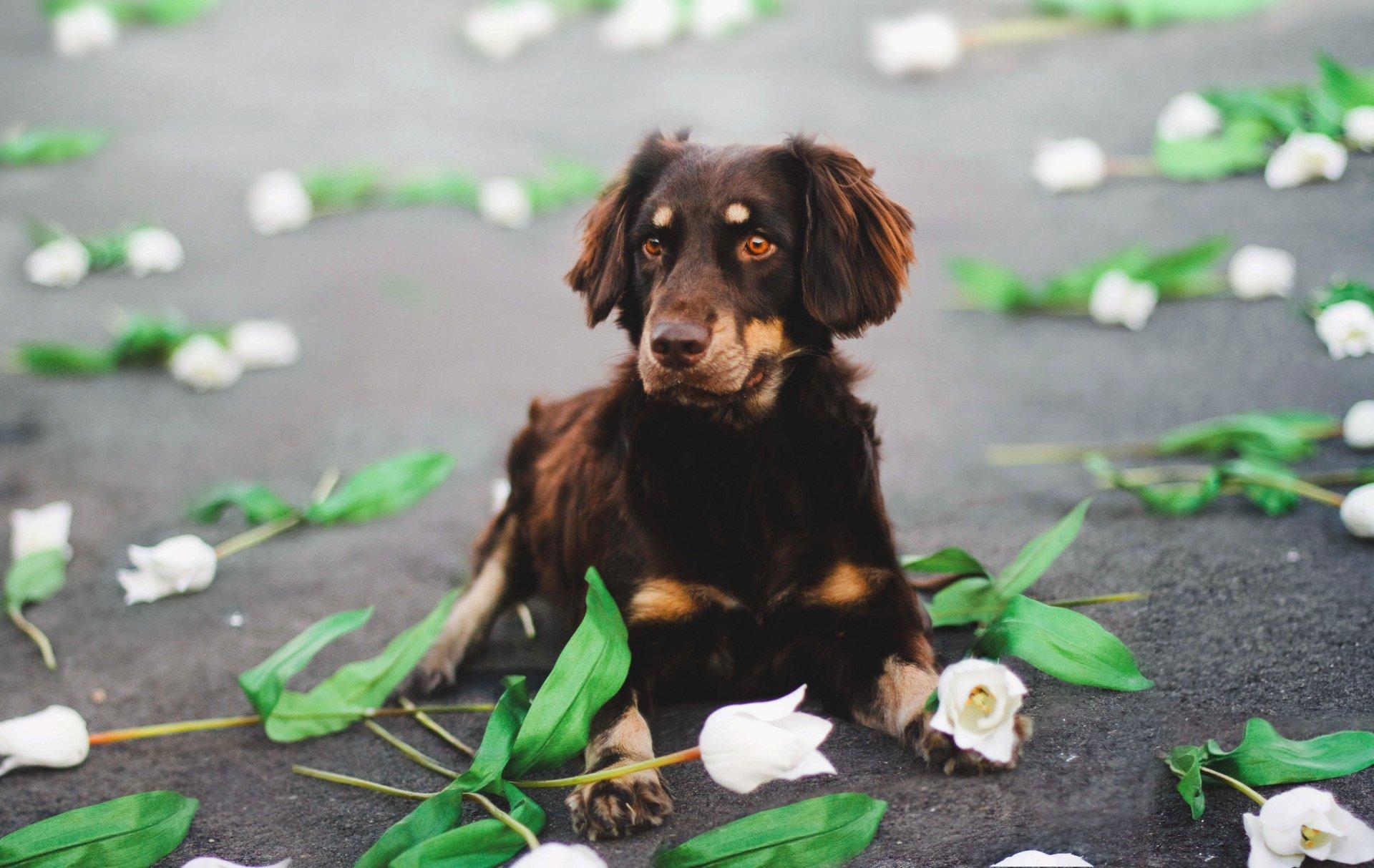 Animal - Australian Shepherd  Dog Flower Wallpaper