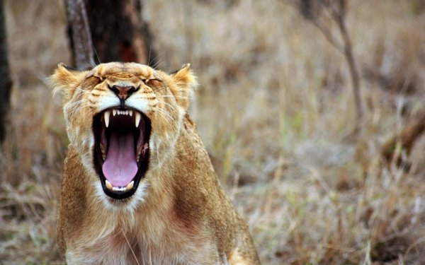 Animal Lion Cats Africa Snarl HD Wallpaper | Background Image