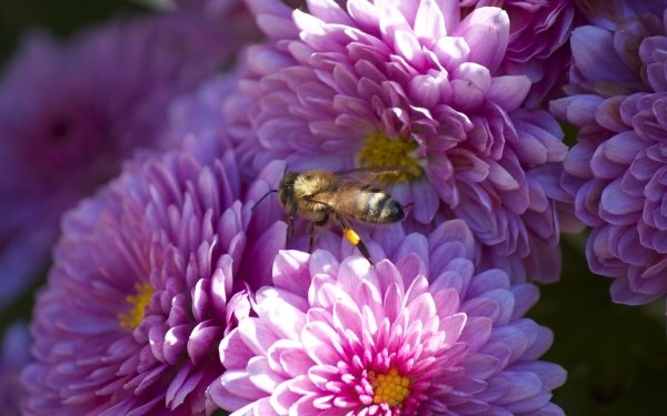 Animal Bee Insects Insect Flower Pink Flower HD Wallpaper | Background Image