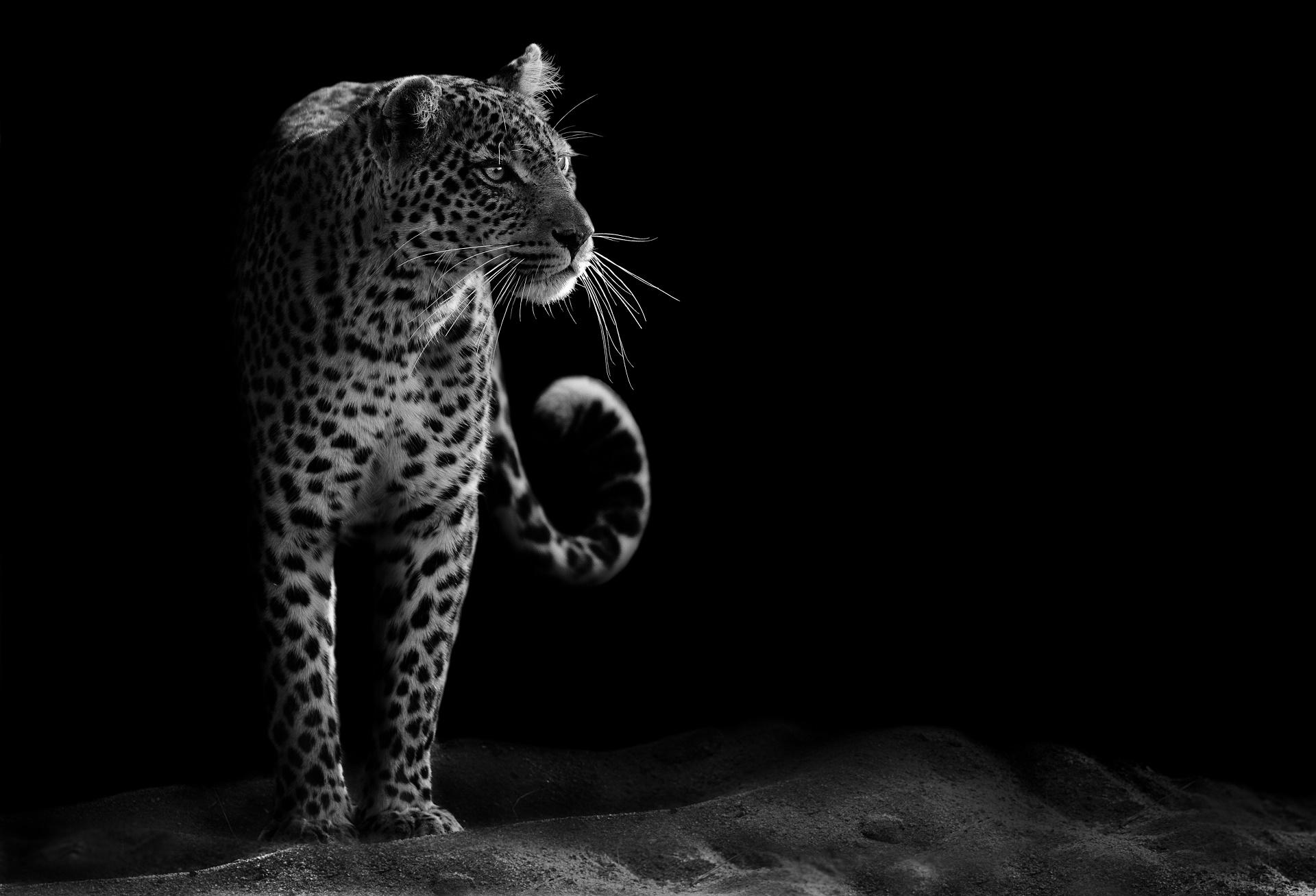 Leopard 4k Black Background Hd Animals 4k Wallpapers: Arrière-plans - Wallpaper Abyss