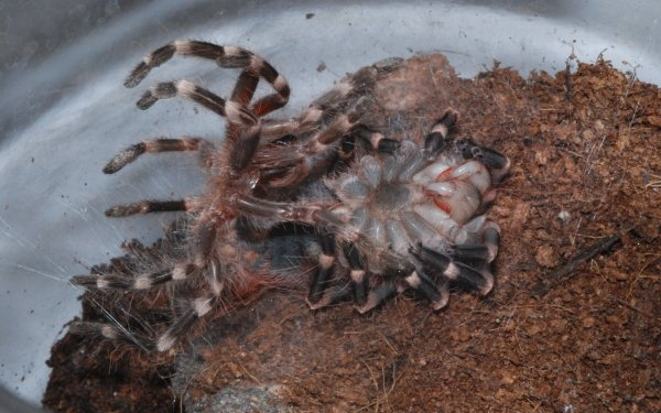 Animal Tarantula Spiders Spider HD Wallpaper | Background Image