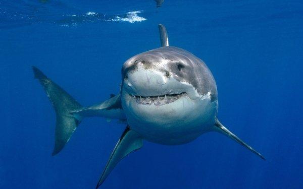 Animal Great White Shark Sharks Fish Shark Underwater HD Wallpaper   Background Image