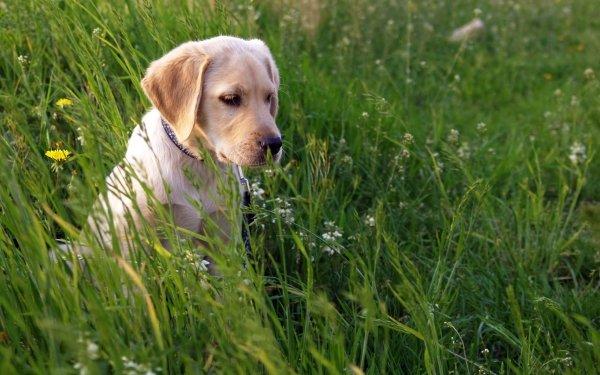 Animal Labrador Retriever Dogs Dog Puppy Grass HD Wallpaper | Background Image
