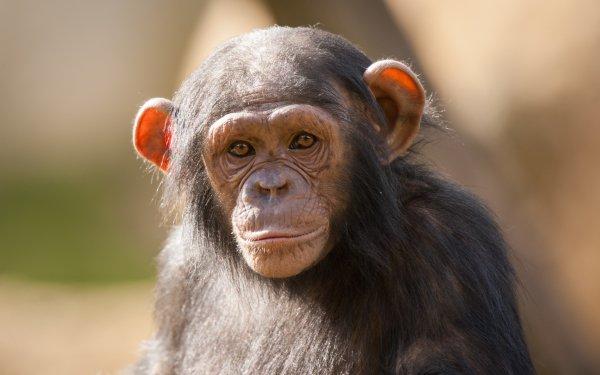 Animal Chimpanzee Monkeys Monkey Primate HD Wallpaper | Background Image