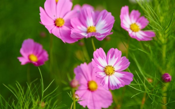 Earth Cosmos Flowers Pink Flower Macro Flower HD Wallpaper   Background Image